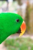 Портрет крупного плана зеленого попугая Стоковое Изображение RF