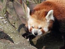 Портрет крупного плана красной панды стоковые фотографии rf