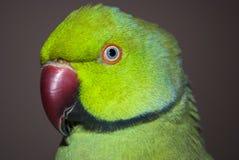 Портрет крупного плана попугая Стоковая Фотография RF