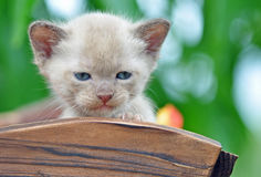 Закройте вверх по малюсенькому котенку 4 недель старому бирманскому outdoors Стоковые Фотографии RF