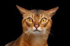 Портрет крупного плана симпатичного абиссинского кота при изолированный нос сердца стоковое фото