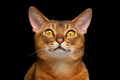 Портрет крупного плана симпатичного абиссинского кота с носом сердца стоковая фотография rf