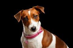Портрет крупного плана собаки Джека Рассела на изолированной черной предпосылке Стоковые Фотографии RF