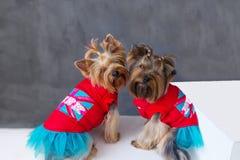 Портрет крупного плана собаки 2 йоркширских терьеров в красном платье на серой предпосылке Стоковые Фото