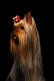 Портрет крупного плана собаки йоркширского терьера показывая язык на черноте Стоковое фото RF