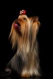Портрет крупного плана собаки йоркширского терьера показывая язык на черноте Стоковая Фотография RF