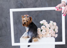 Портрет крупного плана собаки йоркширского терьера с розами букета в картинной рамке Стоковое фото RF