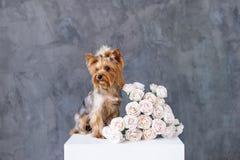 Портрет крупного плана собаки йоркширского терьера с розами букета Стоковая Фотография