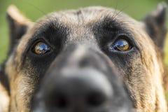 Портрет крупного плана собаки немецкой овчарки Стоковая Фотография RF