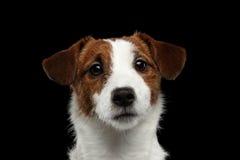 Портрет крупного плана собаки терьера Джека Рассела изолированной на черноте Стоковое Фото