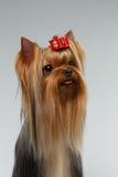 Портрет крупного плана счастливой собаки йоркширского терьера на белизне Стоковая Фотография