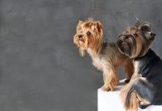 Портрет крупного плана счастливой собаки йоркширского терьера 2 на серой предпосылке Стоковое фото RF