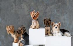 Портрет крупного плана счастливой собаки йоркширского терьера 5 на серой предпосылке Стоковые Изображения RF