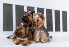 Портрет крупного плана счастливой собаки йоркширского терьера 2 на серой предпосылке Стоковые Изображения