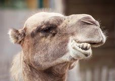 Портрет крупного плана Bactrian верблюда шальной Стоковое Фото