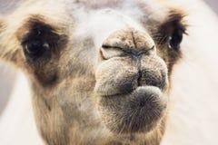 Портрет крупного плана Bactrian верблюда Стоковые Изображения RF