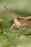 Портрет кузнечика на зеленых лист Стоковая Фотография