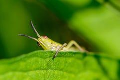 Портрет кузнечика того смотрит прищурясь вне от задних зеленых лист Стоковые Фото