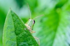 Портрет кузнечика того смотрит прищурясь вне от задних зеленых лист Стоковое Фото