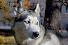 Портрет лайки голубоглазой породы собаки скелетона сибирской стоковые фотографии rf