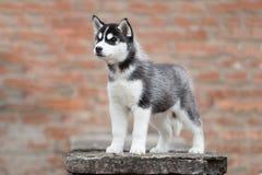 Портрет лайки милого щенка сибирской Стоковое Фото