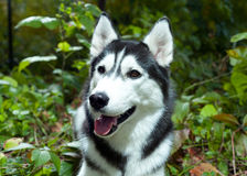 портрет лайки собаки Стоковые Изображения RF