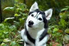 портрет лайки собаки стоковая фотография rf