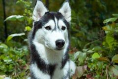 портрет лайки собаки стоковые изображения
