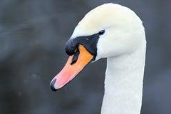 Портрет лебедя конца-вверх Стоковая Фотография RF