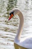 Портрет лебедя Стоковая Фотография RF