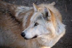 Портрет ледовитого волка стоковые изображения rf