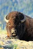 Портрет лежа бизона, национальный парк Йеллоустон, Вайоминг стоковое изображение rf