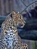 Портрет леопарда Шри-Ланки, kotiya pardus пантеры стоковая фотография