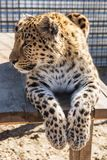 Портрет леопарда Стоковое фото RF