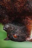 портрет летучей мыши Стоковое Фото