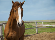 портрет лошадей фермы Стоковая Фотография