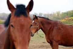 портрет 2 лошадей Стоковое Изображение RF