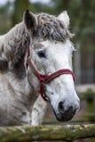 Портрет лошади в дворе Голова ` s белой лошади Стоковые Изображения