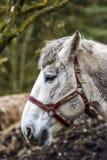 Портрет лошади в дворе Голова ` s белой лошади Стоковые Изображения RF