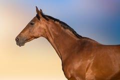 Портрет лошади залива Стоковое фото RF
