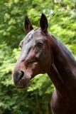 портрет лошади залива Стоковые Изображения