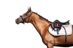 Портрет лошади каштана изолированный на белой предпосылке Стоковые Фото