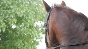 Портрет лошади красивого и могущественного темного залива женской на поле луга вытаращить в расстояние с ушами высоко вверх сток-видео