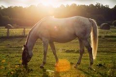 Портрет лошади пася Стоковое Изображение