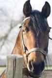 портрет лошади Стоковые Фото