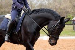 Портрет лошади dressage в арене Стоковые Фотографии RF