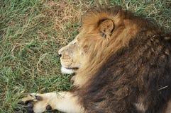 Портрет льва в природе сафари Стоковая Фотография