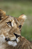 портрет льва новичка Стоковое Изображение