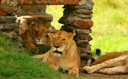 портрет льва одичалый Стоковая Фотография RF