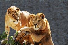 портрет льва семьи Стоковые Изображения